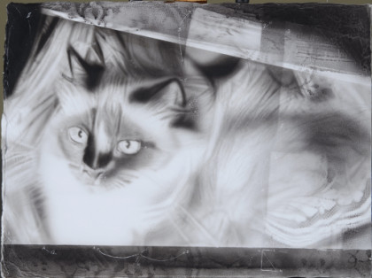 Study of Birman Cat